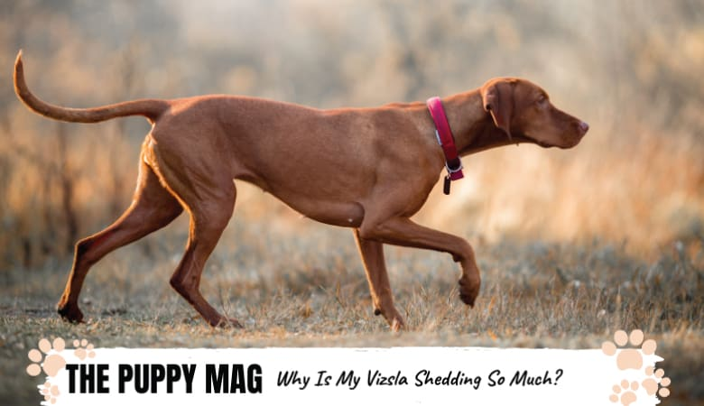 Why Is My Vizsla Shedding So Much? Are They Supposed To?