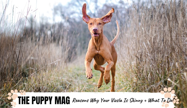 Why Is My Vizsla So Skinny? 5 Reasons Why & What To Do