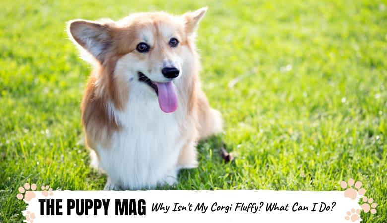 why-isn't-my-corgi-fluffy