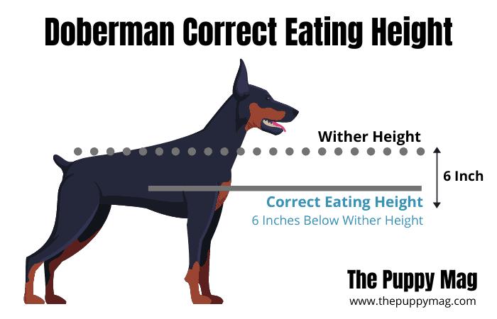 doberman correct eating height