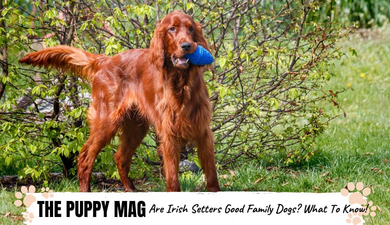 are-irish-setters-good-family-dogs