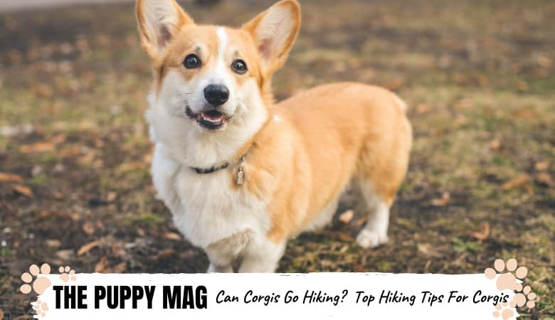 Can Corgis Go On Long Hikes? Corgis & Hiking Top FAQs