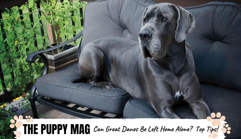 Can You Leave a Great Dane Home Alone? Important Advice