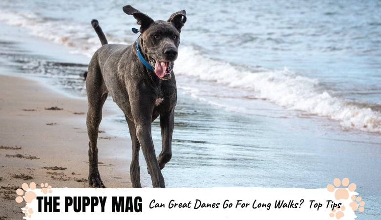Can Great Danes Go On Long Walks? Important Tips To Know