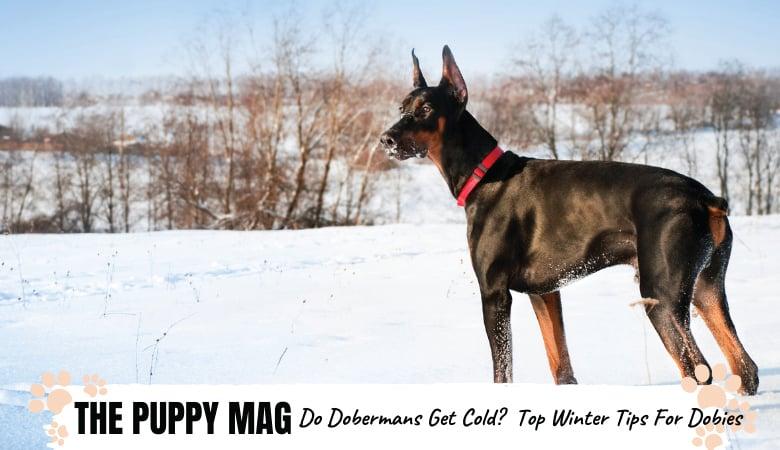 Do Dobermans Get Cold? Top Winter Safety Tips For Dobies