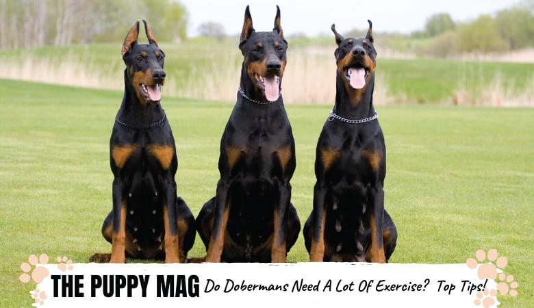 Do Dobermans Need a Lot Of Exercise? Dobie Exercise FAQs
