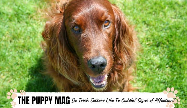 do-irish-setters-like-to-cuddle