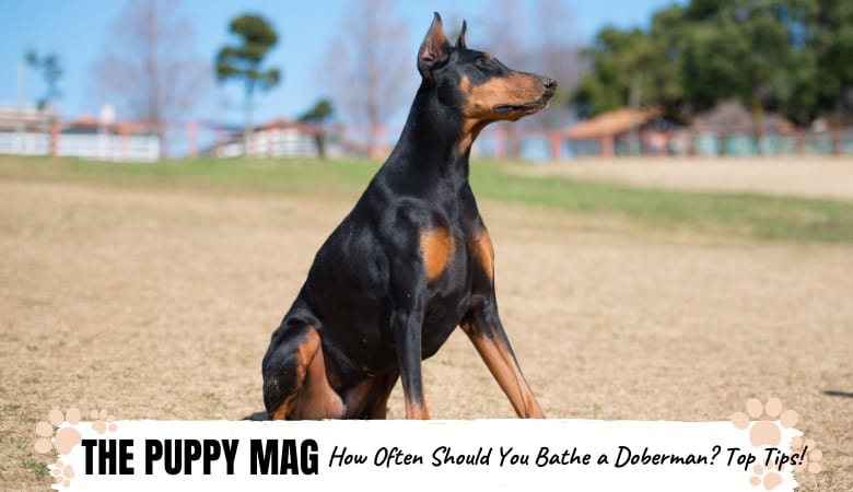 how-often-should-you-bathe-a-doberman