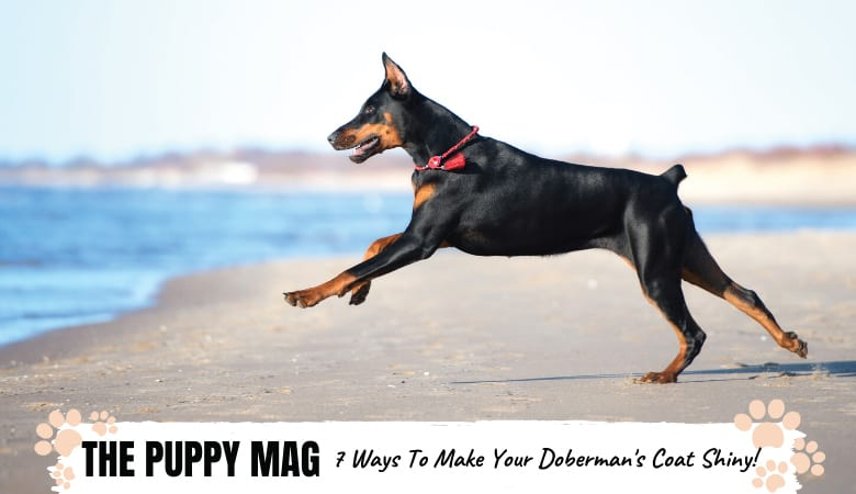 how-to-make-your-dobermans-coat-shiny