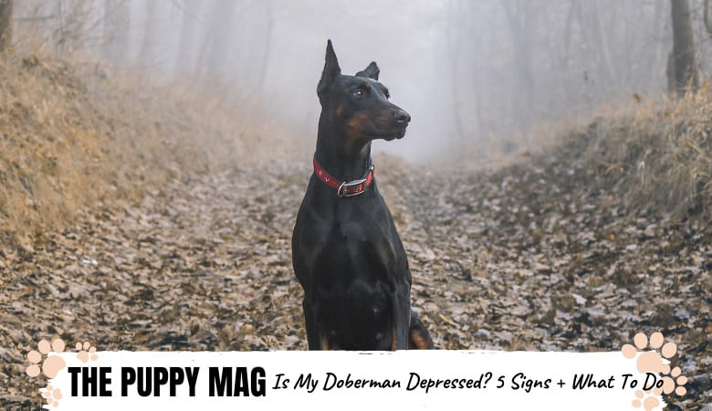 Is My Doberman Depressed? 5 Signs To Know & What To Do