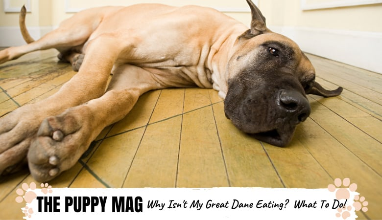 My Great Dane Isn't Eating: 5 Reasons Why & What To Do