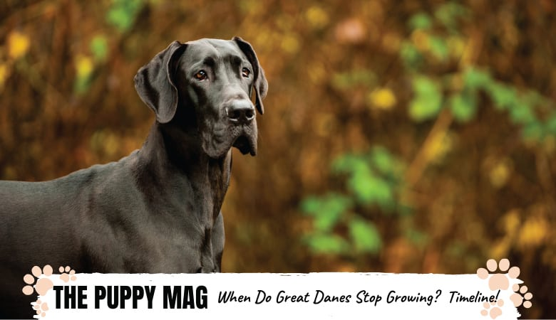 When Do Great Danes Stop Growing & Reach Full Size?