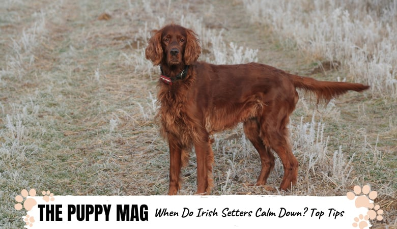 when-do-irish-setters-calm-down