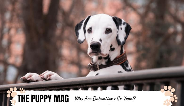 Why Are Dalmatians So Vocal? We Found Out