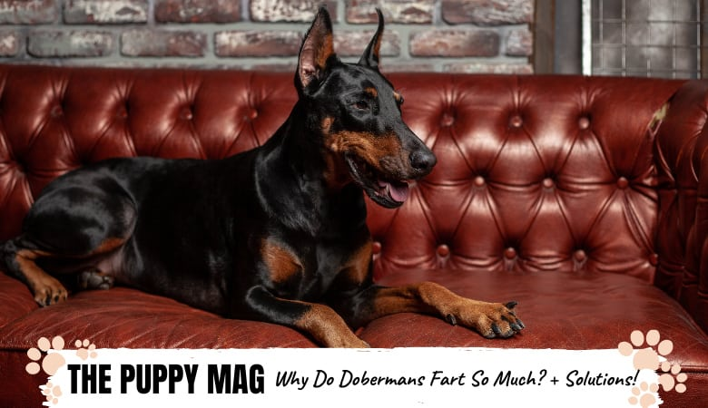 Why Do Dobermans Fart So Much? And How To Fix It