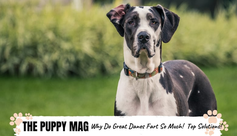 Why Do Great Danes Fart So Much? And How To Stop It