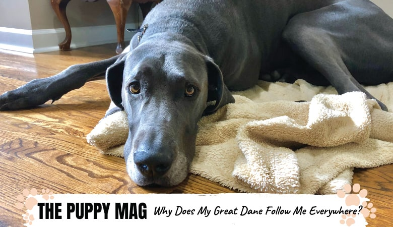 Why Does My Great Dane Follow Me Everywhere? Solutions!