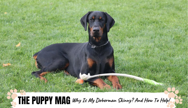 Why Your Doberman Is So Skinny and What To Do About It