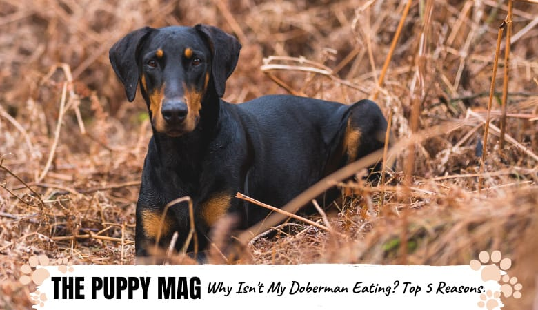 Why Isn't My Doberman Eating? 5 Reasons Why & What To Do