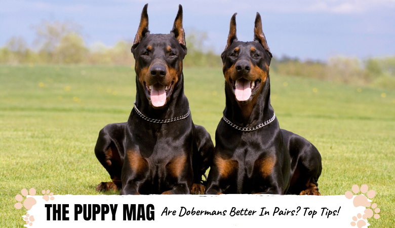 Are Dobermans Better In Pairs? The Pros & Cons