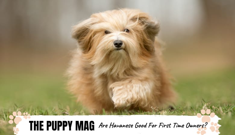 Are Havanese Good For First Time Owners? Important Tips