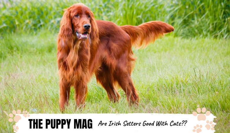 are-irish-setters-good-with-cats