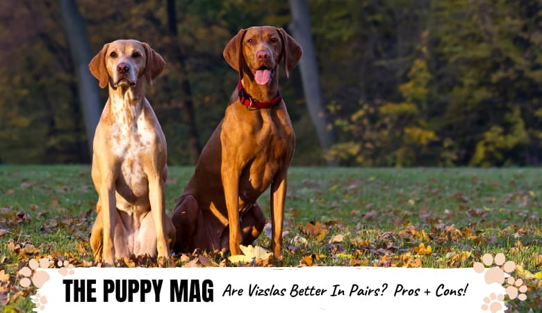 Are Vizslas Better In Pairs? The Pros & Cons