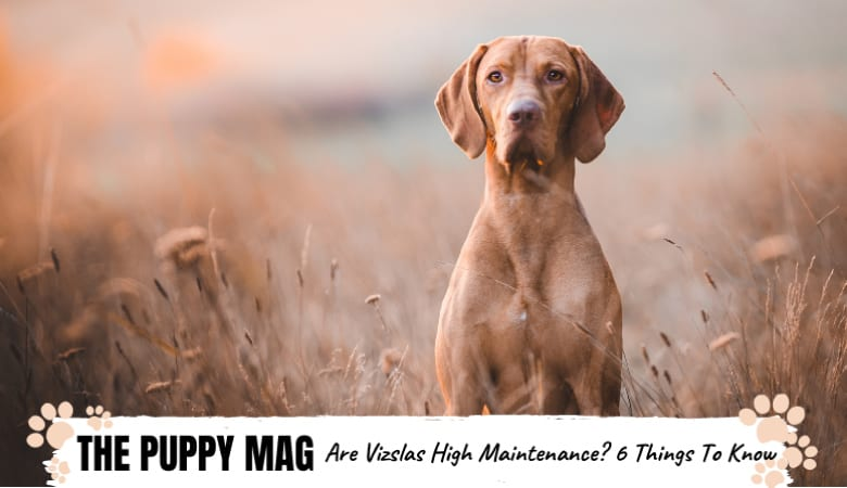 Are Vizslas High Maintenance? 6 Things You Must Know