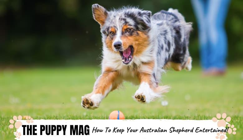 9 Ways To Keep Your Australian Shepherd Entertained