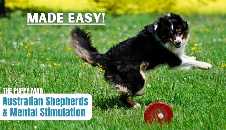 australian-shepherd-mental-stimulation