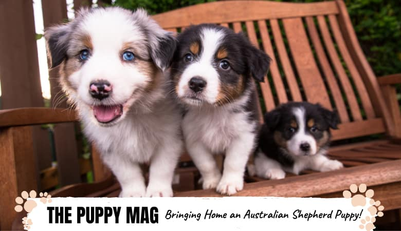 bringing-home-a-australian-shepherd-puppy.png