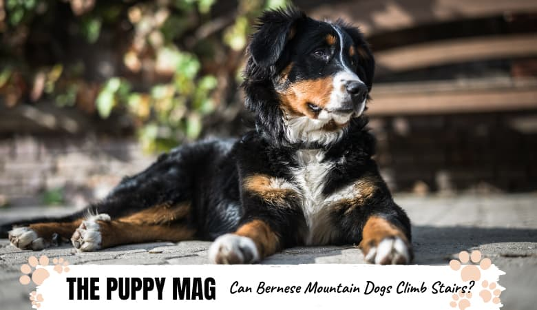 Can Bernese Mountain Dogs Climb Stairs? Important Advice
