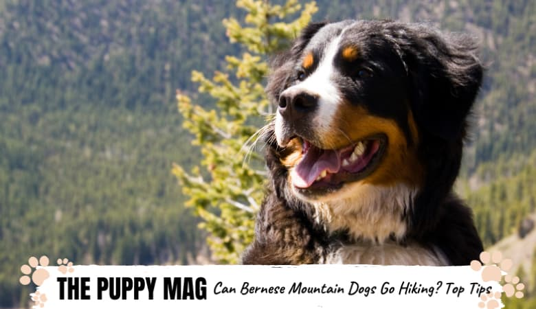 Can Bernese Mountain Dogs Hike? Berner Hiking Tips
