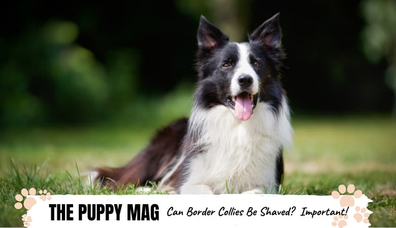 Can Border Collies Be Shaved? What Every Owner Must Know