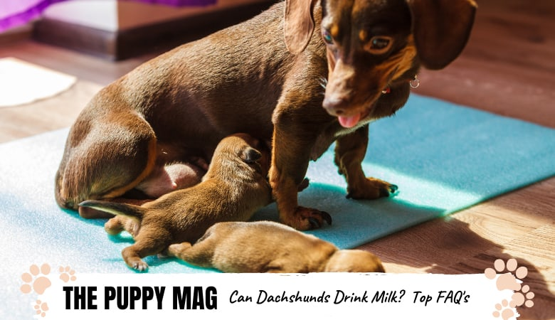 Can Dachshunds Drink Milk? What Every Owner Should Know