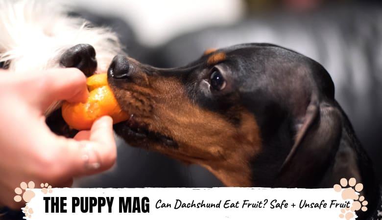 can-dachshunds-eat-fruit