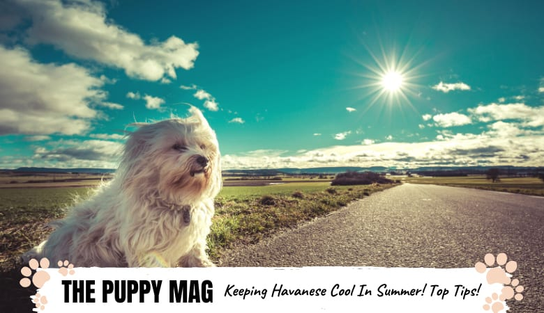 Can Havanese Live In Hot Weather? 8 Tips To Keep Cool