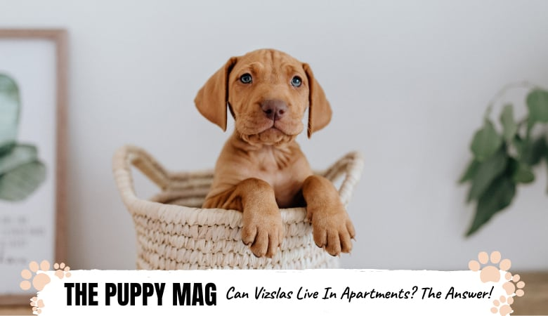 Can Vizslas Live In Apartments? The Simple Answer & More