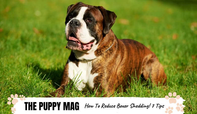 How To Reduce Boxer Shedding: 7 Tips For Shedders