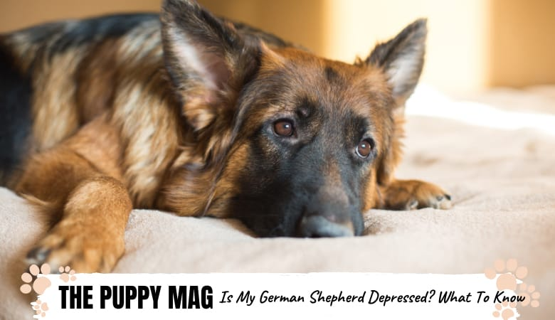 is-my-german-shepherd-depressed