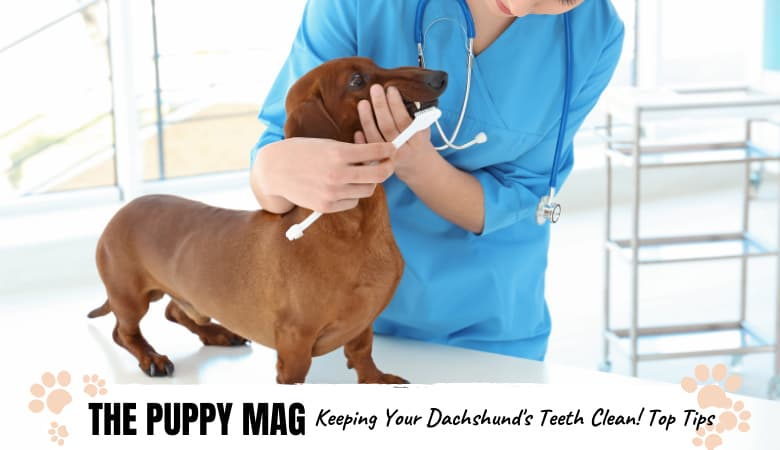 How To Keep Your Dachshund's Teeth Clean: The Best Way