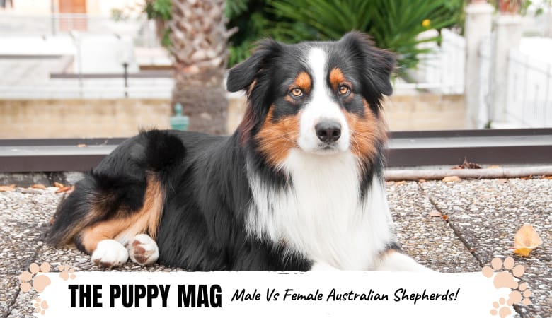 male-vs-female-australian-shepherds