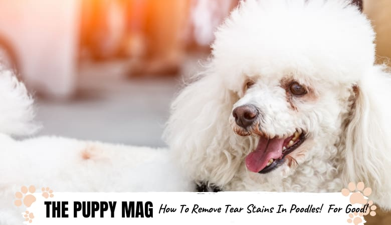 How To Remove Poodle Eye Stains? Poodle Eye Tear Tips