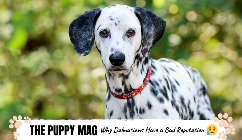 why-dalmatians-have-a-bad-reputation