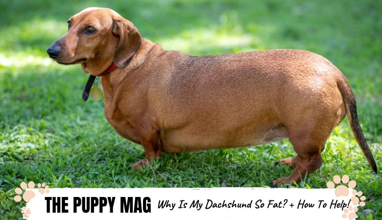 Why Is My Dachshund So Fat? Dachshund Weight Loss Tips