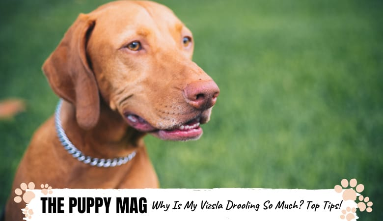 Why Is My Vizsla Drooling So Much? 5 Reasons To Know
