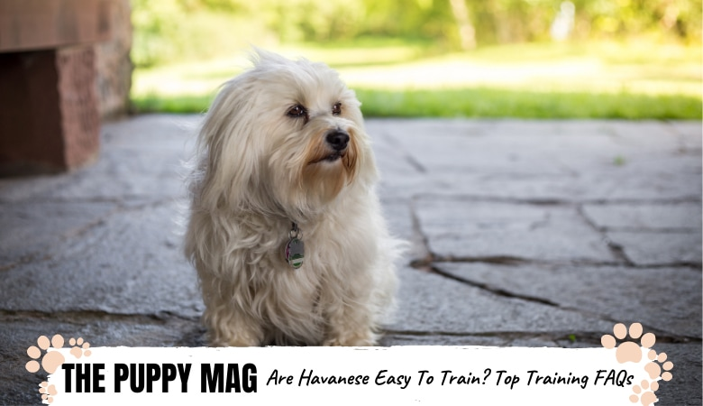 Are Havanese Easy To Train? Havanese Training FAQ's