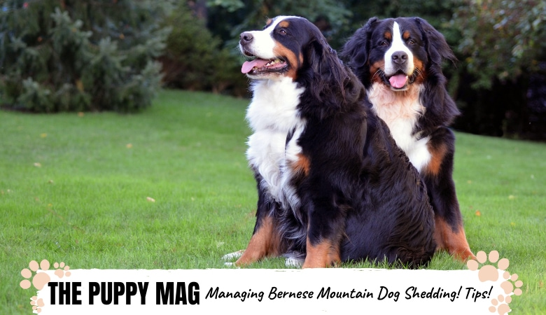 Bernese Mountain Dog Shedding: How To Deal With It!