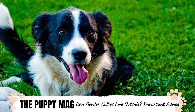 can-border-collies-live-outisde.png