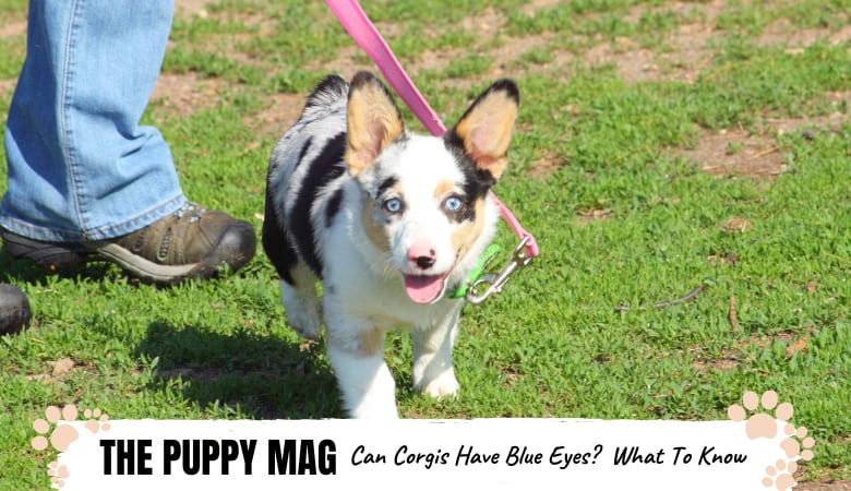 can-corgis-have-blue-eyes.png